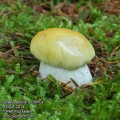 Boletus edulis f. citrinus CZ: hřib smrkový citronový BA: Vrganj, BG: Обикновена манатарка, BY: Баравік, CN: 美味牛肝菌, DK: Spiselig rørhat, EE: Harilik kivipuravik, ES: Seta de calabaza, FI: Herkkutatti, FR: Cepe de Bordeaux, GR: Βωλίτης ο φαγώσιμος, HR: Jesenski vrganj, HU: Ízletes vargánya, IS: Kóngssveppur, IT: Porcino ceppatello, JP: ヤマドリタケ, LT: Tikrinis baravykas, LV: Egļu baravika, NL: Eekhoorntjesbrood, NO: Steinsopp, PL: Borowik szlachetny, RO: Mânătârca pietroasă, RU: Белый гриб, SE: Karljohansvamp, SI: Jesenski goban, TR: Çörek mantarı, UA: Білий гриб, WA: Magnåve bolet 