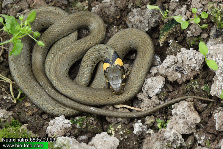 Tarhakäärme