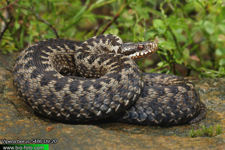 Vipera berus 5486-09-20 CZ: zmije obecná DE: Kreuzotter UK: Common viper Adder Northern ES: Víbora común o europea IT: marasso FR: Vipere péliade PL: Żmija zygzakowata SK: Vretenica severná FI: Kyykäärme HU: Keresztes DK: Hugorm FI: Kyykäärme NL: Adder SE: Huggorm TR: Bayağı engerek RU: Обыкновенная гадюка звычайная YU: Riđovka šarka SL: Navadni gad RO: viperă neagră comuna 