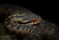 Vipera berus 1994-5-2019 CZ: zmije obecná DE: Kreuzotter UK: Common viper Adder Northern ES: Víbora común o europea IT: marasso FR: Vipere péliade PL: Żmija zygzakowata SK: Vretenica severná FI: Kyykäärme HU: Keresztes DK: Hugorm FI: Kyykäärme NL: Adder SE: Huggorm TR: Bayağı engerek RU: Обыкновенная гадюка звычайная YU: Riđovka šarka SL: Navadni gad RO: viperă neagră comuna  albums/plazi/thumb_Vipera-berus-1994-5-2019.jpg