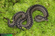 Vipera berus 5441-09-20 CZ: zmije obecná DE: Kreuzotter UK: Common viper Adder Northern ES: Víbora común o europea IT: marasso FR: Vipere péliade PL: Żmija zygzakowata SK: Vretenica severná FI: Kyykäärme HU: Keresztes DK: Hugorm FI: Kyykäärme NL: Adder SE: Huggorm TR: Bayağı engerek RU: Обыкновенная гадюка звычайная YU: Riđovka šarka SL: Navadni gad RO: viperă neagră comuna 
