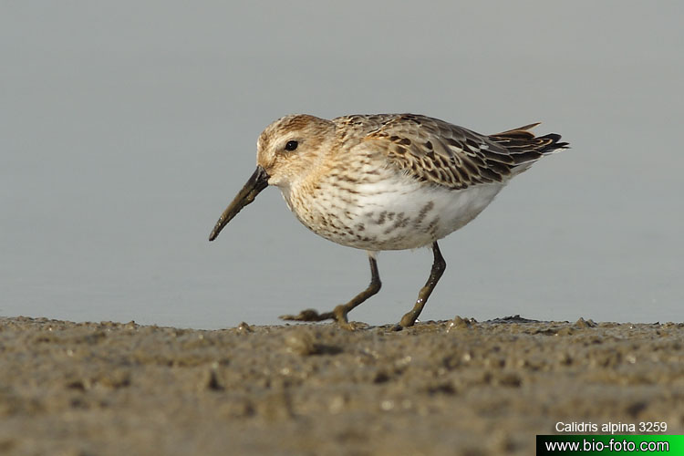 Calidris alpina 3259-32 UK: Dunlin DE: Alpenstrandläufer FR: Bécasseau variable ES: Correlimos Común CZ: jespák obecný IT: Piovanello pancianera PT: Pilrito-comum PL: Biegus zmienny DA: Almindelig Ryle DU: Bonte Strandloper