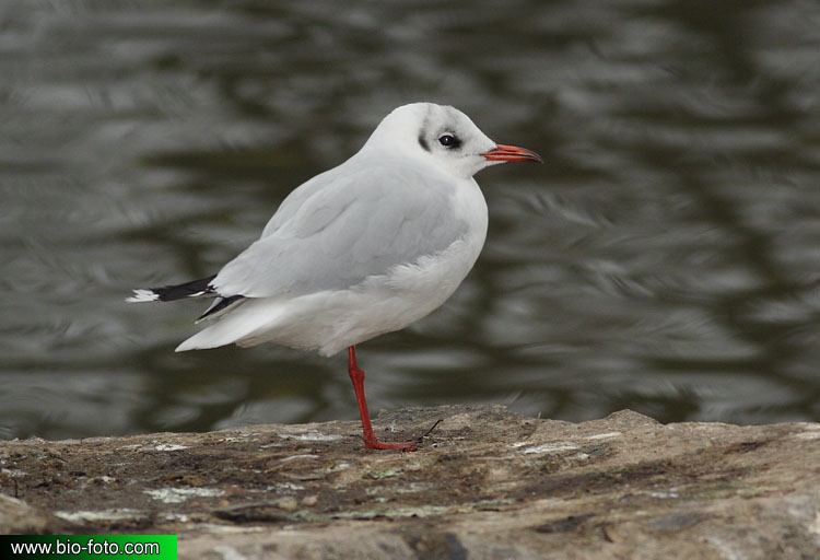 Larus ridibundus 8813 CZ: Racek chechtavý UK: Black-headed Gull DE: Lachmöwe FR: Mouette rieuse ES: Gaviota Reidora DK: Hættemåge NL: Kokmeeuw FI: Naurulokki IT: Gabbiano comune NO: Hettemåke SE: Skrattmås RU: Озерная чайка PL: Mewa śmieszka HU: Dankasirály SK: Čajka smejivá PT: Guincho comum YU: Obični galeb LV: Lielais Kiris EE: Naerukajakas CN: 紅嘴鷗 JP: ユリカモメ AR: النورس أسود الرأس KR: 붉은부리갈매기 GR: Καστανοκέφαλος Γλάρος PT: Guincho-comum UA: Звичайний мартин AF: Swartkopmeeu TR: Karabağ martı HE: שחף אגמים