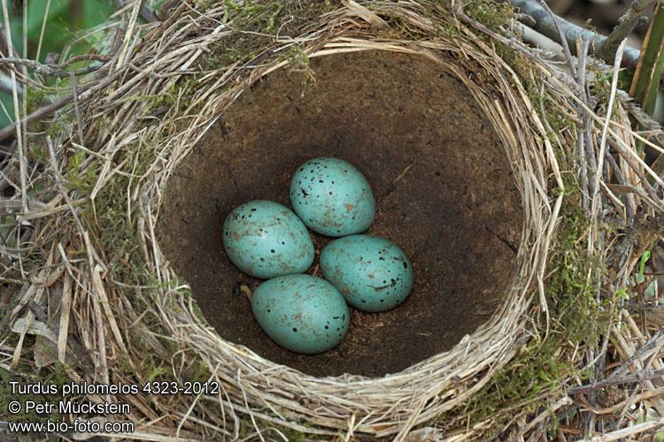 Turdus philomelos 4323-2012 CZ: drozd zpěvný vejce hnízdo snůška ...