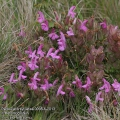 Pedicularis-sylvatica-0098-6-2013.jpg