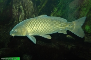 Cyprinus carpio hungaricus 8896 CZ: kapr obecný sazan DE: Karpfen ET: Karpkala ES: Carpa común europea EO: Karpo FA: کپور FR: Carpe commune KO: 잉어 HR: Šaran IO: Ciprino ID: Ikan mas IT: Carpa HE: קרפיון מצוי KA: კობრი LT: Paprastasis karpis HU: Ponty MN: Булуу цагаан NL: Karper JP: コイ NO: Karpe PL: Karp PT: Carpa-comum RU: Карп SR: Сазаан SQ: Krapi SK: Kapor obyčajný SU: Lauk Emas FI: Karppi TH: ปลาไน TR: Sazan balığı UA: Короп VI: Cá chép CN: 鯉 UK: Common carp AZ: Çökə BS: Šaran BR: Karpenn BG: Шаран CA: Carpa DK: Karpe albums/rybky/thumb_Cyprinus-carpio-hungaricus-IMG_8896.jpg