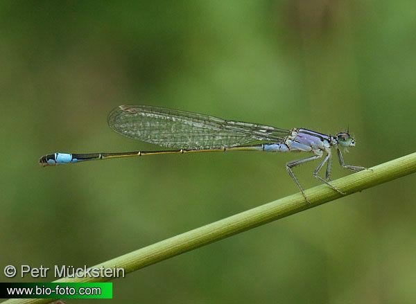 Ischnura elegans 2571 DE: Große Pechlibelle UK: Blue-tailed Damselfly Common Bluetail CZ: Šidélko větší SE: Allmän kustflickslända NO: Kystvannymfe RU: Тонкохвост изящный UA: Тонкохвіст елегантний SI: Modri kresničar JP: マンシュウイトトンボ HU: Kék légivadász DK: Stor Farvevandnymfe FI: Hoikkatytönkorento FR: Agrion élégant NL: Lantaarntje IT: Agrion elegante PL: Tężnica wytworna