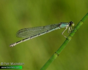 Enallagma cyathigerum 3371 CZ: Šidélko kroužkované DE: Becher-Azurjungfer UK: Common blue damselfly DK: Almindelig Vandnymfe FI: Okatytönkorento FR: Agrion porte-coupe NL: Watersnuffel IT: Agrion coppiere PL: Nimfa stawowa SE: Sjöflickslända NO: Stor blåvannymfe RU: Стрелка голубая UA: Еналягма чашоносна SI: Bleščeči zmotec Sijajni HU: Kéksávos légivadász albums/vazky/thumb_Enallagma-cyathigerum-IMG_3371.jpg
